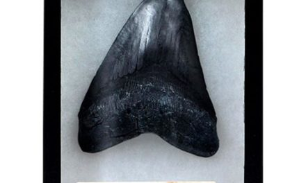 Megalodon Tooth Premium Series Fossil Replica